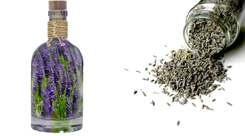 A small bottle of lavender essential oil next to a bunch of dried lavender buds