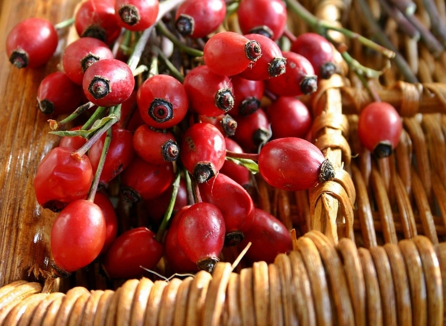 A bunch of rosehips out of which we get rosehip oil for skin and face care