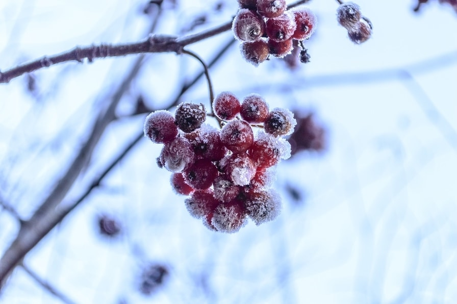 Frozen rosehips on stems
